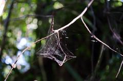 Web (jexicaxu) Tags: spider web nature jungle rainforest forest kuching sarawak bakonationalpark bako nationalpark malaysia