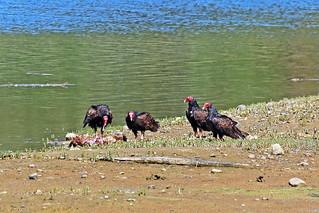 Turkey Vultures 18-0718-8878