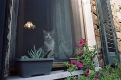 Curiosità (michele.palombi) Tags: chiusdino tuscany cat curiosity film 35mm kodak portra160asa colortec c41 negativo colore