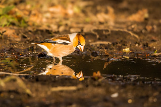 Reflective Hawfinch
