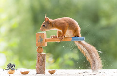 red squirrel jumps on an hammer and a walnut (Geert Weggen) Tags: squirrel acrobat animal backlit breaking broken carpenter cheerful concepts cracked cracker crushed cute dinner endangeredspecies food foodanddrink healthyeating healthylifestyle horizontal humor ingredient lifestyles macrophotography mammal metal metallic nature nopeople nutfood nutcracker open organic outdoors photography physicalpressure positiveemotion red refreshment rodent silvercolored singleobject staring worktool walnut bispgården jämtland sweden geert weggen ragunda