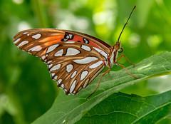 Gulf Fritillary (Eeyore Photography) Tags: robertjackson texas butterfly bug nikon24120f4 eeyorephotography robertjacksonphotography insect nikond750 nikon macro