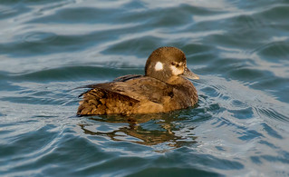 Harlequin duck / Straumönd (Histrionicus histrionicus)