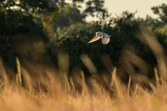 Flying through flames (Stickyemu) Tags: wildlife natrue bird owl birdofprey hunting sunset animal bokeh filed meadow countryside suffolk bif nikond500 nikon200500mmf56