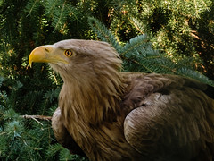Photo of White Tailed Sea Eagle