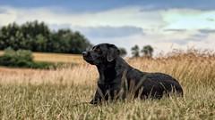 in the afternoon (uwe.kast) Tags: labrador labradorretriever labradorredriver hund haustier dog bichou bokeh badenwürttemberg gras summer sommer canon canon750d ef70200mm