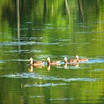 Ducks in Green Reflection thumbnail