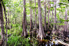 Everglade-Swamp-Water (Jawor Photography) Tags: jaworphotography nature naturephotography natural landscape landscapephotography earth outdoors outside florida floridaeverglades everglades evergladesnationalpark swamp marsh water forest naturehike nationalpark naturelover summer tropical jungle hot humid hiking hike cypress bigcypressnationalpreserve cypressforest tree trees plants plantlife plant flora