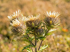 Carline Thistle (niloc's pic's) Tags: carlinethistle carlinavulgaris thistle wildflower yellow flower birlinggap southdowns eastsussex panasonic lumix dmcgh4r