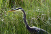 Great Blue Heron (Boreal Impressions) Tags: pelecaniformes ardeidae animal outdoor northamerica nest migration winter migratorybird canada calgary alberta ab spring nikon birding birdsofcanada birdsofcalgary naturephotography bowriver wildlifeandnature wildlife wildlifephotography fauna prairie nature dailyhiveyyc capturecalgary sharecangeo parkscanada albertaparks closeup explorecanada river prairies tree macro grasslands bird grass water field greatblueheron