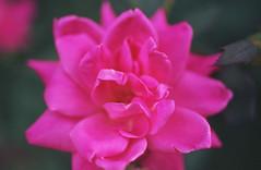 Jealousy (Jetcraftsofa) Tags: nikonf3 micronikkor5528 reala100 35mm slr filmphotography avaliablelight expiredfilm rose flower hana jealousy bokeh dof petals