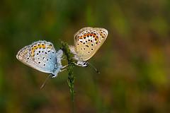 Silver-studded Blue (murtica27) Tags: tagfalter mariposa farfalle butterfly butterfies falter lepidoptera macro european butterflies forst zeitz zeitzer sony alpha schmetterling deutschland europa silverstudded blue geisklee bläuling plebeius argus