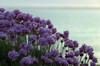 IMGP3800 (mattbuck4950) Tags: england unitedkingdom europe water dusk unidentifiedplants holidays englishchannel lenssigma18250mm photosbymatt flowers may southwestcoastpath cornwall camerapentaxk50 2018 holiday2018cornwall gunwalloe gbr