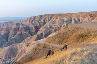 Badlands sunrise with big horn sheep