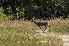163/365  Deer