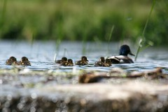 New Life (ianderry64) Tags: bokeh reeds grass waterfall river focus depthoffield england bradgate park sunny sunshine sibling sister brother family mallard duck chick life new