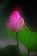 Lotus 荷花 (Tin Yin) Tags: 2018 lotus flower china 荷花 花 中國 深圳洪湖公園