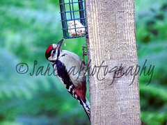 Great spotted woodpecker (️️️Sassy️️️) Tags: greatspottedwoodpecker woodpecker bird black red white sonycybershot sony sonycamera birdfeeder camera woods colours countryside clear classic critter tree trees bestphoto bestpic beautiful beauty bright britain british blur bokeh brown photographer photo photographypassion photography photooftheday picoftheday photos passion photographylover pretty dsch400 day display digital