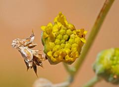 CAE016433a (jerryoldenettel) Tags: 180717 2018 asteraceae asterales asterids belen fineleafwoollywhite hymenopappus hymenopappusfilifolius nm valenciaco wildflower woollywhite flower