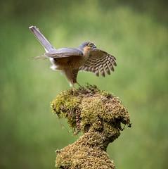 Sparrowhawk (andywilson1963) Tags: sparrowhawk male bird scotland woodland wildlife nature british