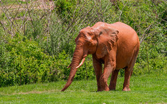 African Elephant (JuanJ) Tags: nikon d850 lightroom art bokeh nature lens light landscape white green red black pink sky people portrait location architecture building city iphone iphoneography square squareformat instagramapp shot awesome supershot beauty cute new flickr amazing photo photograph fav favorite favs picture me explore interestingness wedding party family travel friend friends vacation beach zoo northcarolina usa animal ashboro animals elephant