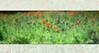Poppy Fields ~Tenacious (Karen McQuilkin) Tags: tenacious poppyfield hundredyears poppies manuallens