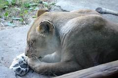 Fathers Day 2018 Zoo OG  (78) (edwarddallas) Tags: 2018 edwarddallas kansascityzoo zoo lioness