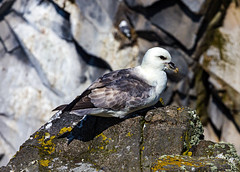 Isle of May 26 May 2018 00107.jpg (JamesPDeans.co.uk) Tags: forthemanwhohaseverything gb greatbritain birds firthofforth fulmar unitedkingdom shearwaters eastneuk scotland britain nature printsforsale wwwjamespdeanscouk fife isleofmay jamespdeansphotography landscapeforwalls europe uk digitaldownloadsforlicence