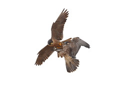 Talon to talon food transfer (charlescpan) Tags: peregrine falcon fledgling prey