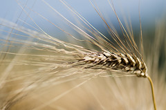 Wheels (ciccioetneo) Tags: gold wheat wheatfield wheatear spigadigrano countyside campagna country campagnamarchigiana pesaro pesarourbino marche nikond7000 nikon105mm28