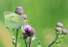 cabbage white on Canada thistle at Cardinal Marsh IA 653A5405 (lreis_naturalist) Tags: cabbage white butterfly feeding canada thistle flowers cardinal marsh winneshiek county iowa larry reis
