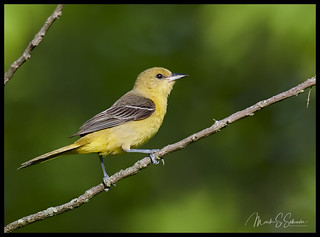 Female Orchard Oriole at Shaw Nature Reserve - No. 2