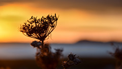 Impressions of a Carrot (Lindsey1611) Tags: umbelliferwednesday wildcarrot silhouette seedhead shore sunset winter levington suffolk
