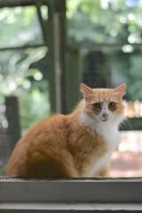Jimmy gives me the raised-eyebrow look (rootcrop54) Tags: jimmy orange ginger tabby male masked cat catenclosure longhair longhaired neko macska kedi 猫 kočka kissa γάτα köttur kucing gatto 고양이 kaķis katė katt katze katzen kot кошка mačka gatos maček kitteh chat ネコ