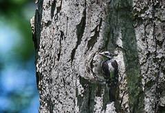 blending in (Mark.Swanson) Tags: stump woodpecker downywoodpecker merwinpreserve parklandsfoundation lexington illinois picoidespubescens bird