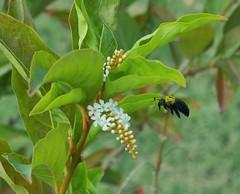 Just buzzing by (Steve4343) Tags: bangkok thailand steve4343 nikon d70 garden gardens white green bee yellowjacket yellow flower flowers beautiful