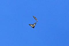IMG_4620 (edward_rooks) Tags: sierraazulopenspacepreserve bald mountain mount umunhum insects wildflowers butterflies bees wasps assassin bug