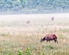 Elk 16 (augphoto) Tags: augphotoimagery cervuselaphus elk animal mammal nature outdoors wildlife cherokee northcarolina unitedstates