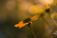 summer.song (_andrea-) Tags: sonya7m2 echinacea yellow carlzeiss objektiv outdoor mount bokeh bokehs bokehshots bokehjunkie beautifulshot sonyphotography planart1450 andreaimages
