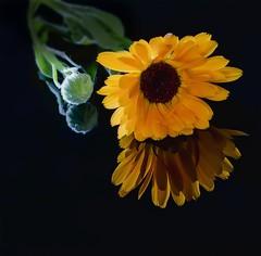 Souci ou Narcisse ? - Marigold or Narcissus? (olivier_kassel) Tags: fleur flower soucis marigold reflection reflet