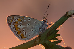lycaena icarus - Lycaenidae (simotony) Tags: macro butterfly nature naturephotography naturaleza natura backlight light new animals wildlife wild wildphoto sunrise canon
