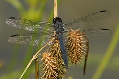 Slaty Skimmer (Eric C. Reuter) Tags: nature wildlife ny catskills peaseddyroad july 2018 070418 insects odes dragonflies odonata butterflies butterfly lake cabin somersetlake golfcourseroad pond damselflies