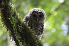 (tracydonald) Tags: saanich barred spotted bird park yyj sidney centennial owl