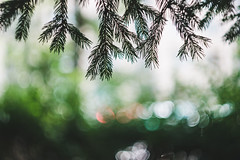 Pine branches (bluishgreen12) Tags: pine tree leaves green summer city sarajevo bokeh nature naturebokeh naturephotography vintagelens vintageprime helios44m f2 helios44m4