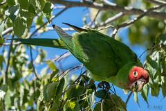Parrots of Telegraph Hill (MelRoseJ) Tags: sanfrancisco california unitedstates us nature sonyalpha sony sonyilca77m2 a77ii alpha autofocus parrot bayarea birds northerncalifornia