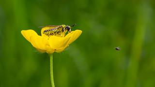 Hunting Sawfly