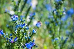 Summer flower, blueweed (P. Burtu) Tags: sweden sverige flowers blommor blomma blå blue gård farm väsbygård väsby järvafältet sollentuna sommar natur nature trädgård garden plant växt blåeld blueweed echium vulgare vipers bugloss