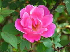 Pink Knockout Rose in Our Garden. (~~BC's~~Photographs~~) Tags: chucksphotos canonsx50 knockoutroses inourgarden aroundthefarm kentuckyphotos spring outdoors naturephotos closeups ourworldinphotosgroup earthwindandfiregroup explorekentucky photosthruyourlensgroup solidarityagainstcancergroup