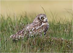Short-eared Owl (Antony Ward) Tags: owls shortearedowl northuist outerhebrides wildowls