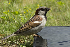 Cooling My Toes (steve_whitmarsh) Tags: animal birds feathers sparrow garden nature wildlife drink water topic